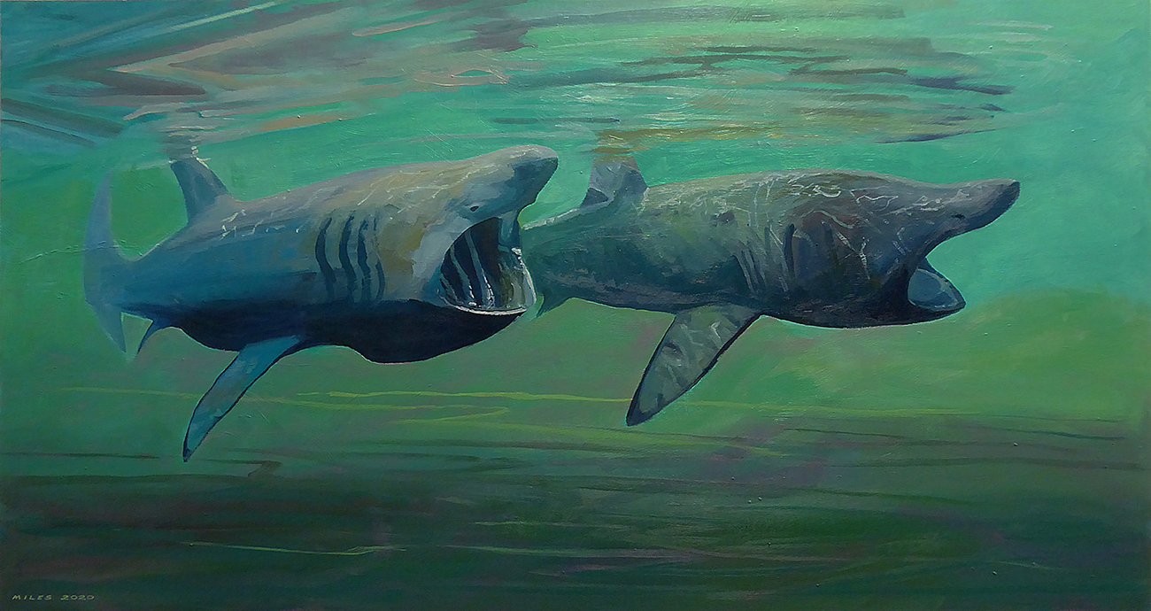 Basking sharks are the second largest fish in the sea.