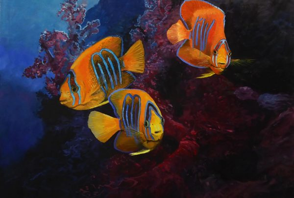 The brilliant colours and patterns of the clarion angel fishes